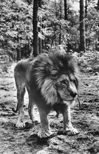 Ansichtkaart Arnhem Leeuw in Burgers Safari Dierenpark Zoo 1969 HC1409