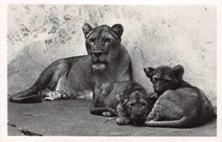 Ansichtkaart Arnhem Leeuwin met jongen in Burgers' Natuur - Dierenpark Zoo 1950 HC1461