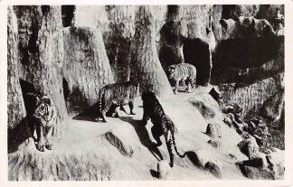 Ansichtkaart Arnhem Bengaalsche Koningstijgers Burgers Natuur Dierenpark Zoo 1947 HC1462