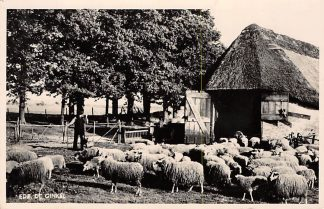 Ansichtkaart Ede De Ginkel Schaapherder met kudde schapen 1949 HC1475