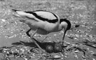 Ansichtkaart Ameland Kluut bij zijn nest 1957 HC1882