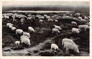 Ansichtkaart Dwingeloo Kudde schapen 1955 HC3387