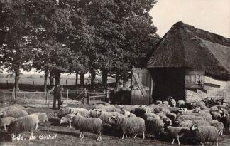 Ansichtkaart Ede de Ginkel Newo fotokaart Schaapskudde herder en herdershond 1937 HC4450