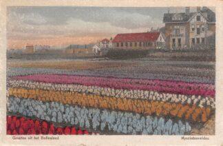 Ansichtkaart Hillegom Groeten uit het Bollenland 1918 Bloembollenvelden HC5444