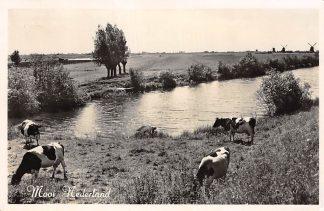 Ansichtkaart Friesland Onbekend Mooi Nederland Koeien in de wei HC5713