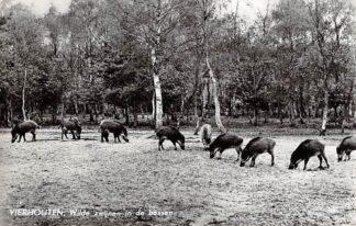 Ansichtkaart Vierhouten Wilde zwijnen in de bossen Veluwe 1962 HC6286