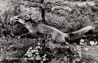 Ansichtkaart Nunspeet Reintje de Vos in de natuur 1960 HC6313