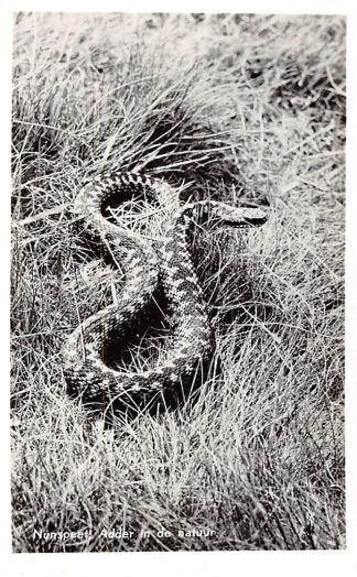 Ansichtkaart Nunspeet Adder in de natuur 1958 HC6348