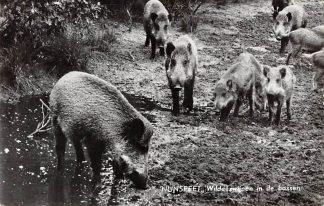 Ansichtkaart Nunspeet Wilde zwijnen in de bossen 1960 Natuur HC6351