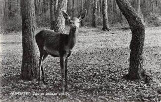 Ansichtkaart Nunspeet Zou er onraad zijn? Hert Natuur Dieren Veluwe 1960 HC6354