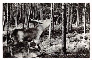 Ansichtkaart Nunspeet Edelhert (bok) in de bronstijd Natuur Dieren Veluwe 1959 HC6355