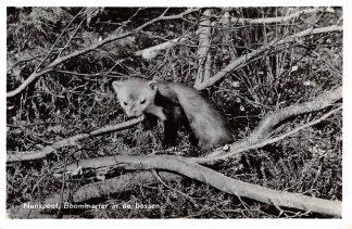 Ansichtkaart Nunspeet Boommarter in de bossen Natuur Dieren Veluwe 1959 HC6356