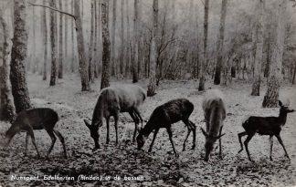 Ansichtkaart Nunspeet Edelherten (hinden) in de bossen Natuur Dieren Veluwe 1963 HC6357
