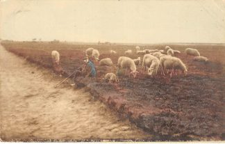 Ansichtkaart Veluwe Nunspeet 1914 Schapen en herder in de bloeiende heide Dieren HC8393
