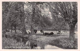 Ansichtkaart Hilversum 's-Graveland Weide met koeien bij het Spanderswoud 1943 Dieren HC8759
