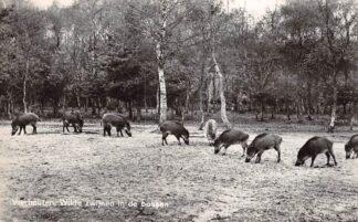 Ansichtkaart Vierhouten Wilde zwijnen in de bossen Veluwe HC9069