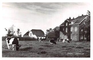 Ansichtkaart Zetten Lentehuis met koeien in de wei Proefdruk JosPe Arnhem 1956 HC9075
