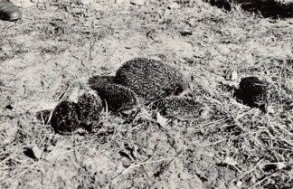 Ansichtkaart Bakkum Egel met jongen Noordhollands Duinreservaat 1964 HC9328