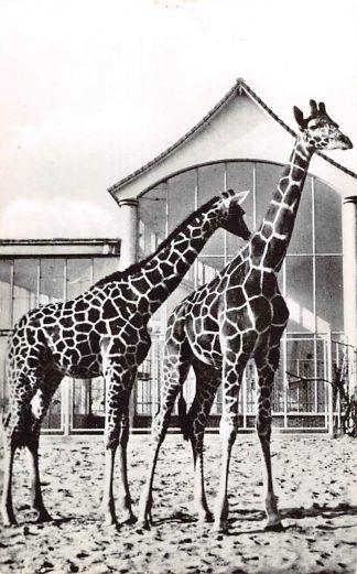 Ansichtkaart Rotterdam Diergaarde Blijdorp Giraffen Zoo Dierentuin 1961 HC9493