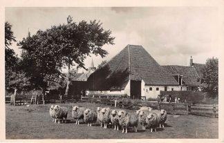 Ansichtkaart Texel Texelse Boerderij met schapen 1950 HC10056