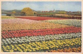 Ansichtkaart Bloembollenvelden Lisse Hillegom Sassenheim HC10653