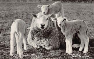 Ansichtkaart Texel De drieling Schaap met drie lammetjes 1963 HC10712