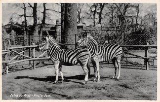 Ansichtkaart Amsterdam Artis Zebra's 1932 Dierentuin Zoo HC11339