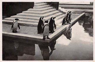 Ansichtkaart Amsterdam Artis Pinguïns 1938 Dierentuin Zoo HC11363