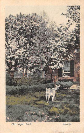 Ansichtkaart Hemmen Betuwe Bloeitijd Boerderij met geit Geldersch Lanschap 1918 HC11400