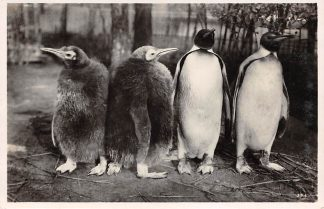 Ansichtkaart Amsterdam Artis Pinguïns 1934 Dierentuin Zoo HC11455