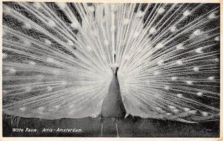 Ansichtkaart Amsterdam Artis Witte Pauw 1934 Dierentuin Zoo HC11484