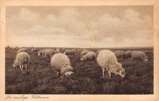 Ansichtkaart Elspeet Schapen op de rustige Veluwe 1935 HC15963