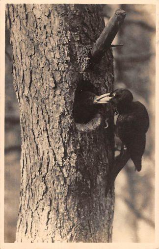 Ansichtkaart Hoenderloo Zwarte specht Het Nationale Park De Hoge Veluwe 1943 HC16764