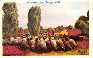 Ansichtkaart Hoogeveen Groeten uit 1963 Schaapherder met kudde schapen op de heide HC16795