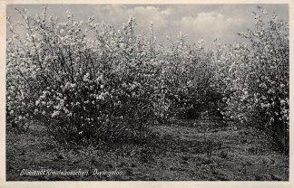 Ansichtkaart Dwingeloo Bloeiende Krentebosschen 1938 HC16800