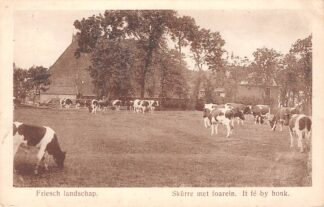 Ansichtkaart Bolsward Friesch Landschap Koeien in de wei Boerderij Skurre met foarein. It fe by honkHC19832