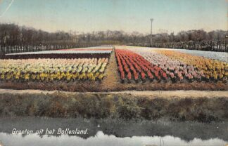 Ansichtkaart Lisse Sassenheim Hillgeom Bloembollenvelden Groeten uit het Bollenland 1917 HC19864