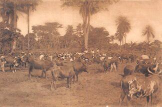 Ansichtkaart Congo Belge Troupeau Inlandsch vee Kwango België Afrika HC20303