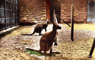 Ansichtkaart Frankrijk Lyon Parc Tete d'Or Les Kangourous Zoo Dierentuin France Europa HC21257