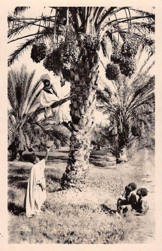 Ansichtkaart Algerije Alger La cueillette des Dattes Scenes et Types Frankrijk France Europa HC21271