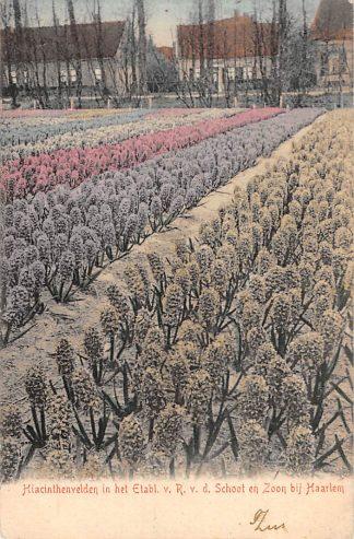 Ansichtkaart Haarlem Hiacinthenvelden in het Etabl. v. R. v.d. Schoot en Zoon bij Haarlem Bloembollenvelden 1905 HC22143