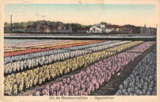 Ansichtkaart Lisse Hillegom Sassenheim Uit de Bloemenvelden Hyacinthen 1930 Bloembollenvelden HC24122