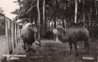 Ansichtkaart Arnhem Burgers Dierenpark Kameelen 1937 Dierentuin Zoo Type fotokaart HC25219
