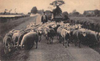 Ansichtkaart Dubbeldam bij Dordrecht Herder met schapen 1921 HC26853
